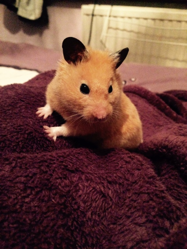 Hamster - Bugsby - Owner Amber Girling