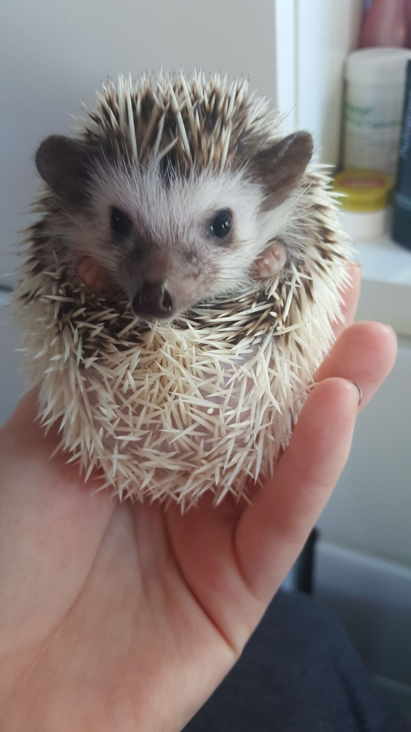 Hedgehog Hendrix  - Owner Kirsten English