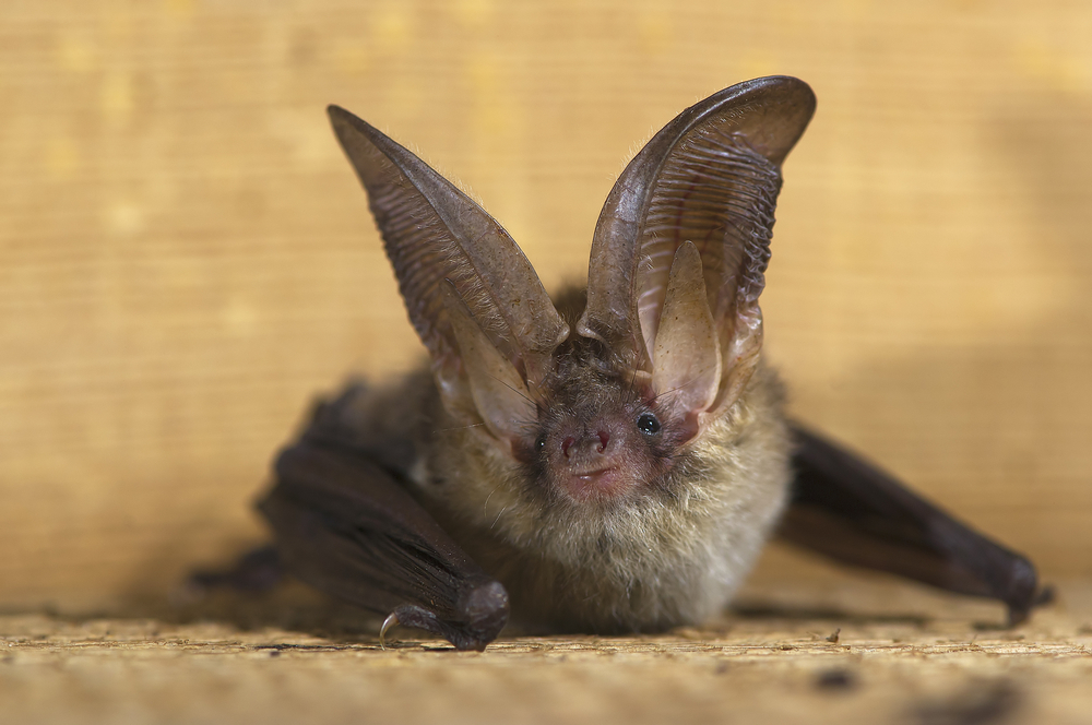 Brown long-eared bats