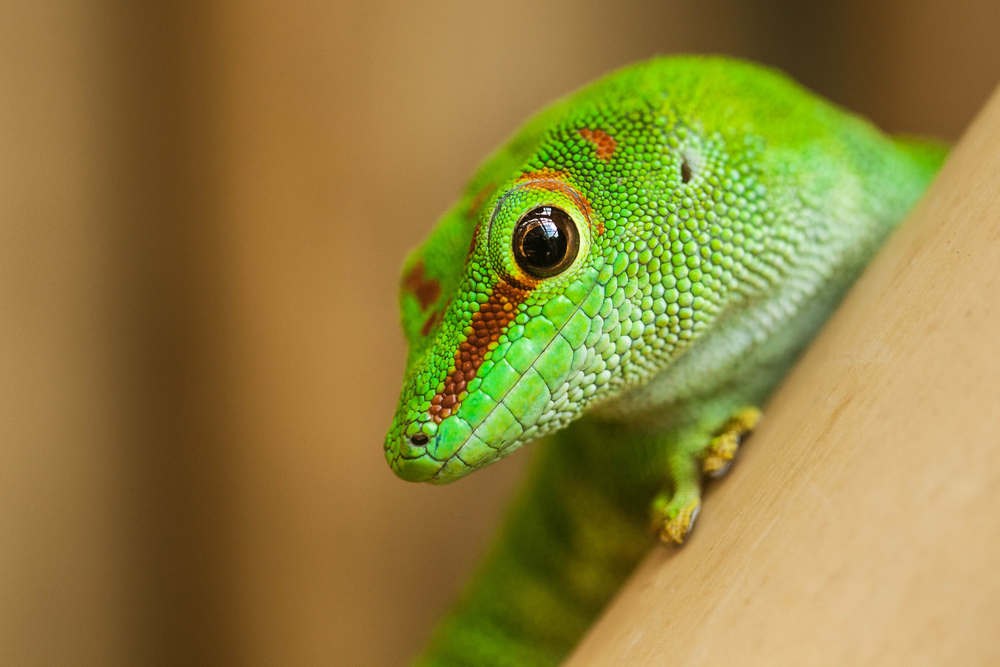 TWSC - Greenside - Lizard
